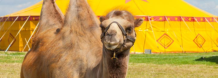 Camel outside a circus tent © RSPCA