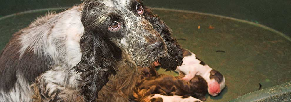 Mother and pups at a puppy farm © RSPCA