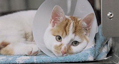Cat with medical cone around it's head © RSPCA