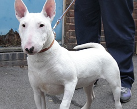 Rose the english bull terrier after fully recovering © RSPCA