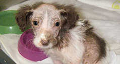 Spaniel puppy with severe skin conditions © RSPCA