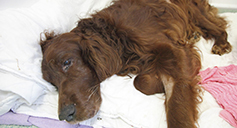 Irish red setting being cared for after surgery © RSPCA