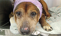 Dog recovering after surgery © RSPCA