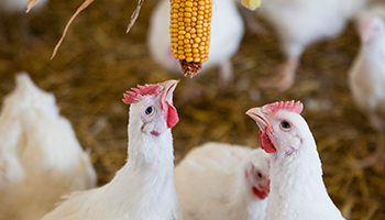 Chickens pecking at corn © RSPCA