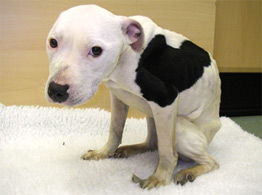Brooke after rescue looking emaciated with her head down © RSPCA