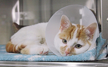 Cat after surgery with vet collar on