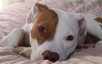 Deaf puppy lying on sofa