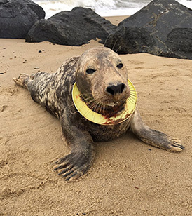 Seal on beach with frisbee round it's neck © RSPCA