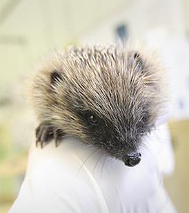 Hedgehog being held © RSPCA