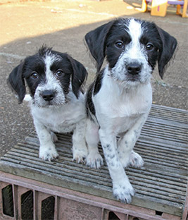 Crossbreed puppies Maxine and Leanna © RSPCA