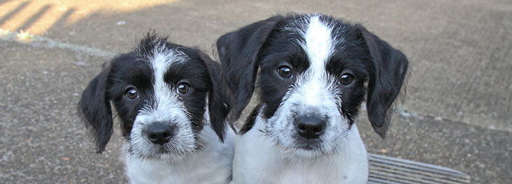 Two spaniel cross puppies © RSPCA photolibrary