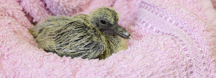 Fledgling at one of our wildlife centres © RSPCA photolibrary
