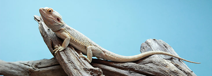 Bearded dragon care including diet, set up and more | RSPCA