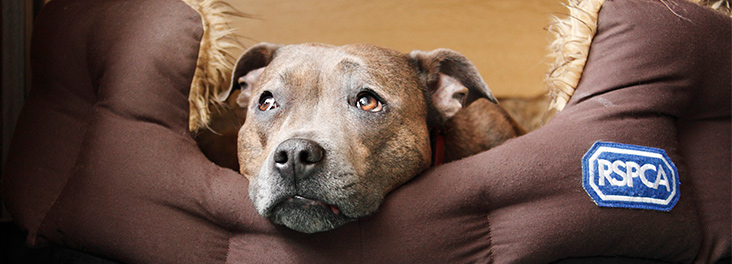 Staffordshire bull terrier in an RSPCA dog bed © RSPCA photolibrary