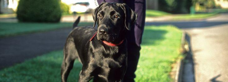 Black Labrador © RSPCA photolibrary