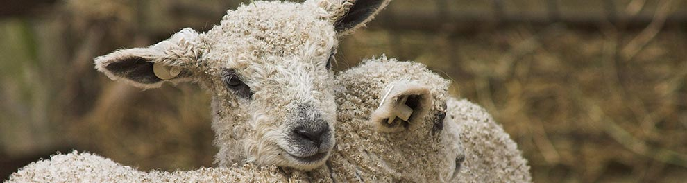Two lambs nestled together © RSPCA