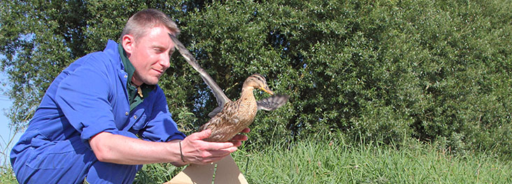 RSPCA Wildlife Assistant releasing adult Mallard Ducks back into natural habitat © RSPCA photolibrary