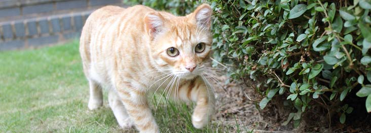 Cat walking in the garden © RSPCA photolibrary