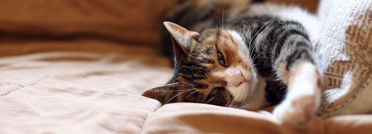 Domestic Cat lying on sofa indoors © RSPCA photolibrary