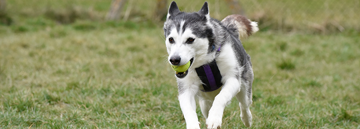 Husky running in a field with tennis ball in mouth © RSPCA photolibrary