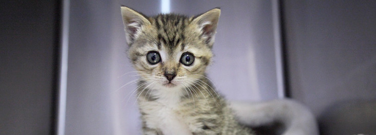 Kitten looking at the camera © RSPCA photolibrary