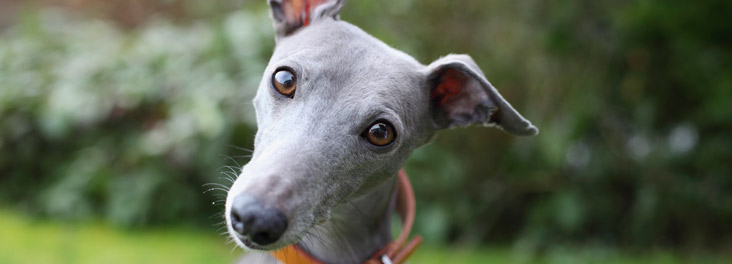 Portrait of single blue Whippet sitting outdoors © RSPCA photolibrary RSPCAPetInsuranceCompare
