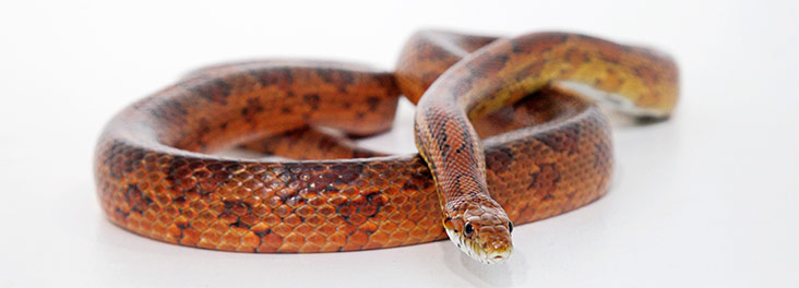 Corn snake care - advice on feeding and temperature | RSPCA