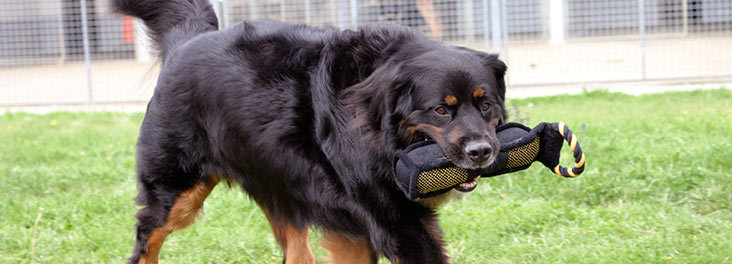 Dog holding toy in mouth © RSPCA photolibrary