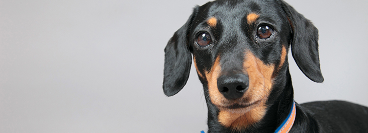 Portrait of single miniature daschund © RSPCA photolibrary