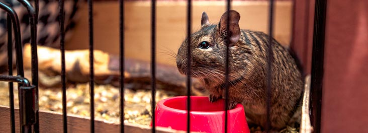 Degu in a cage next to food bowl © iStock