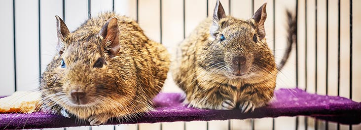 Two degus sitting next to each other © iStock