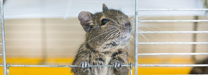 Degu looking out of cage © iStock