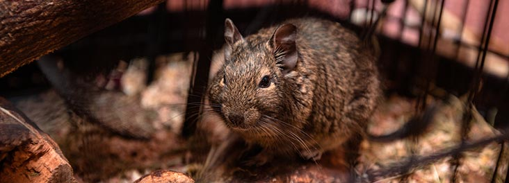 Degu in a cage © iStock