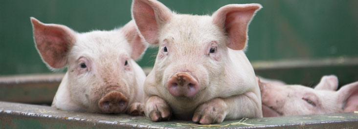 Two piglets looking out of arc © RSPCA photolibrary