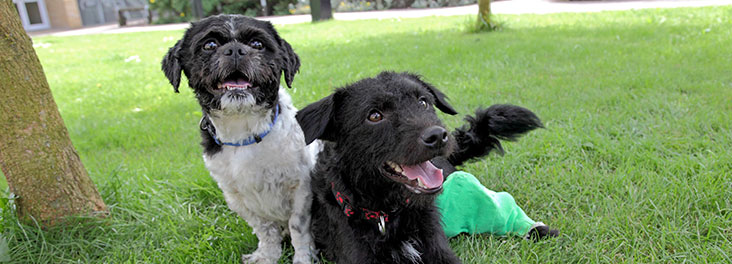 Shih Tzu (Harvey) and Patterdale Terrier (Robbie) resting © RSPCA photolibrary