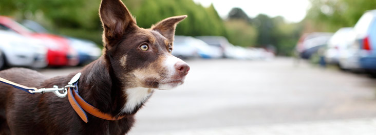 Red Tri Border Collie Dog standing in car park © RSPCA photolibrary