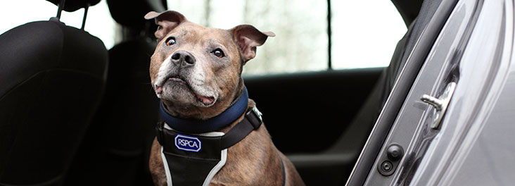 Staffordshire bull terrier sitting in the back of a car © RSPCA photolibrary
