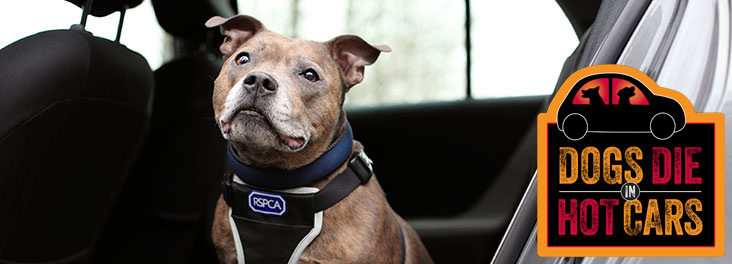 Staffordshire bull terrier in a car © RSPCA photolibrary