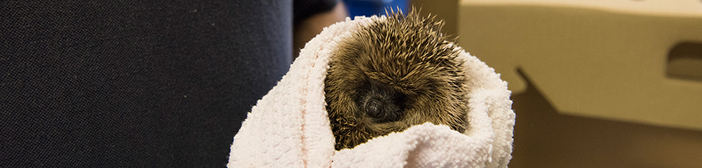 Hedgehog wrapped in a blanket being held © RSPCA photolibrary