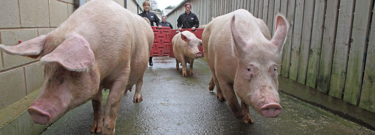 Trainee inspectors moving adult pigs © RSPCA Photolibrary