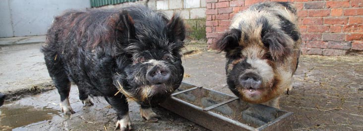 Two adult male Kune Pigs © RSPCA photolibrary