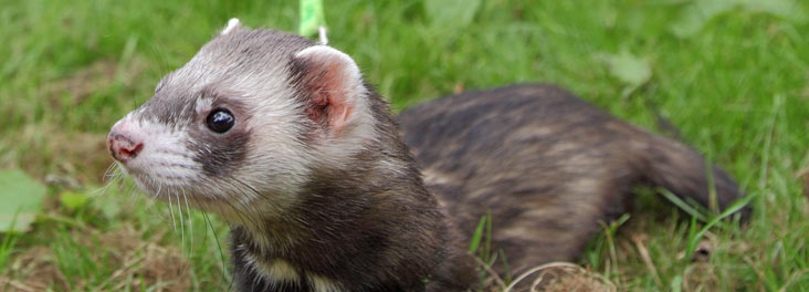 Portrait of an adult ferret © RSPCA photolibrary