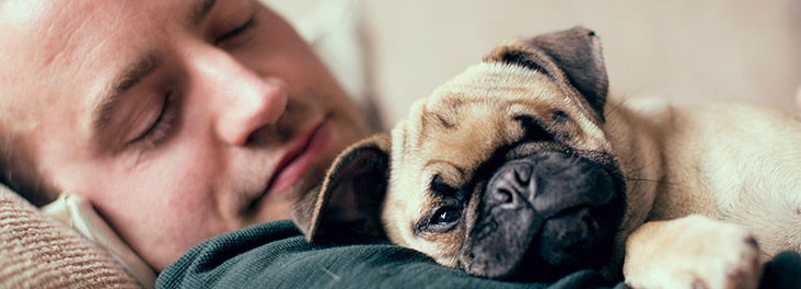 Pug lying on the stomach of new owner asleep © RSPCA photolibrary