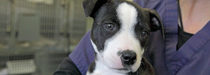 Single male Staffordshire bull terrier puppy © RSPCA photolibrary