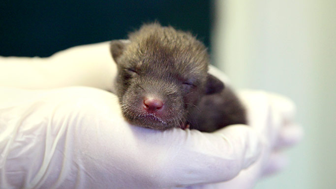 Fox cub in RSPCA care © RSPCA Photolibrary