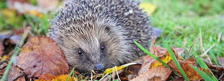 Hedgehog outside © RSPCA photolibrary