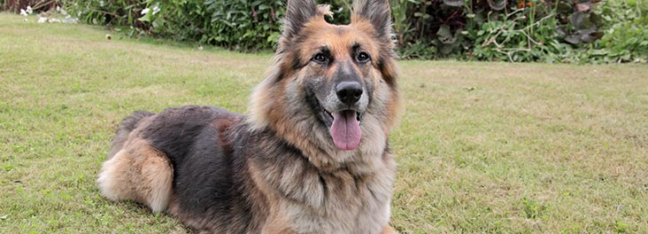 learn about german shepherd dogs and puppies rspca