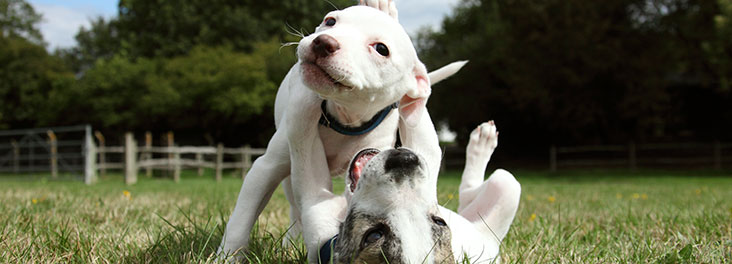 Two mixed-breed puppies lying and playing in field © RSPCA photolibrary