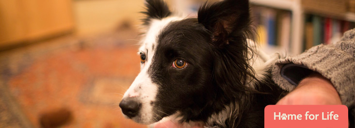 Border collie sitting with owner © RSPCA