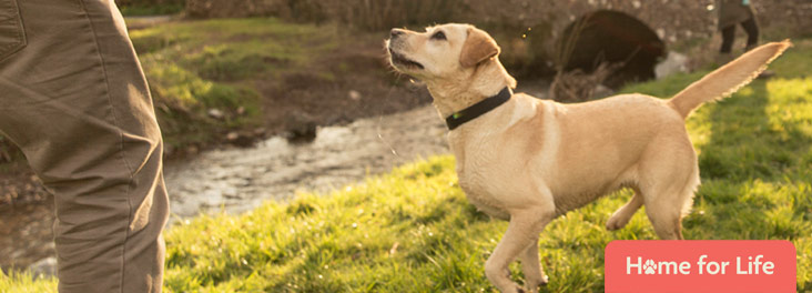 Labrador dog outside with owner © RSPCA